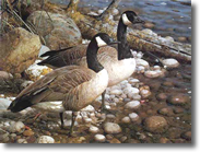 Original Painting, The Survivors - Canada Geese by Carl Brenders